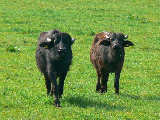Buffalo meat - Wikipedia