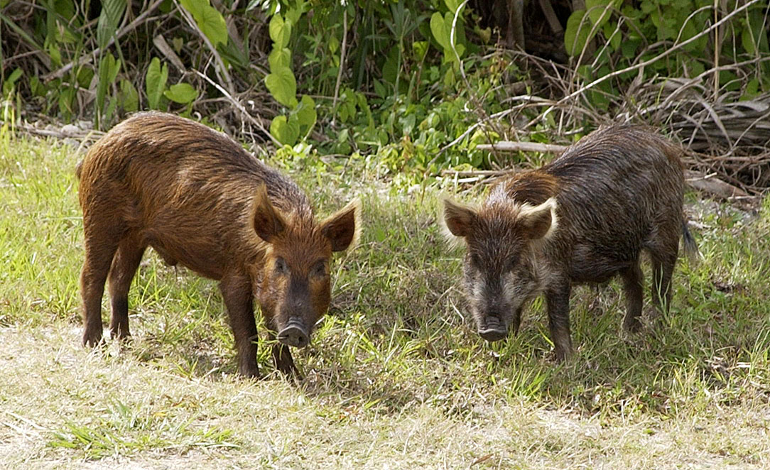 two feral pigs in a grassy area