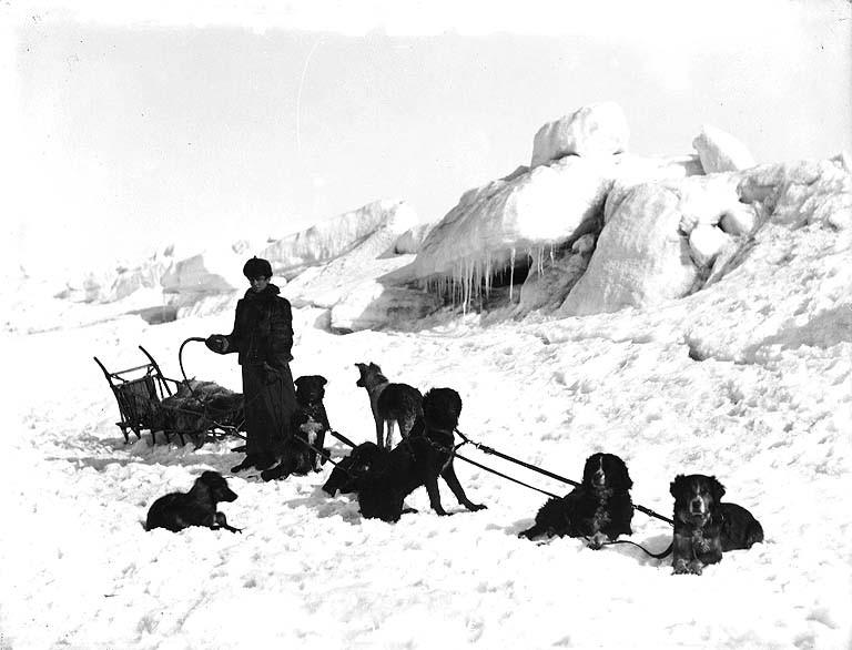 Inuit Sled Dog For Sale