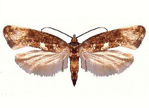 Lauchmotte (Acrolepiopsis assectella), Präparat
