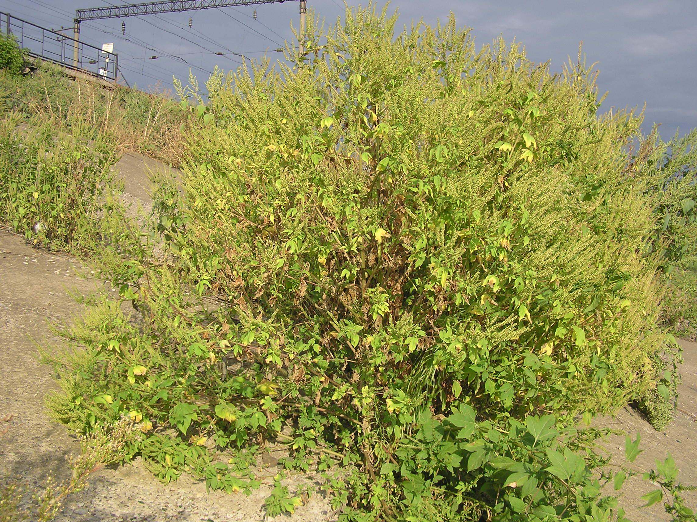 ambrosia trifida (habitus).jpg