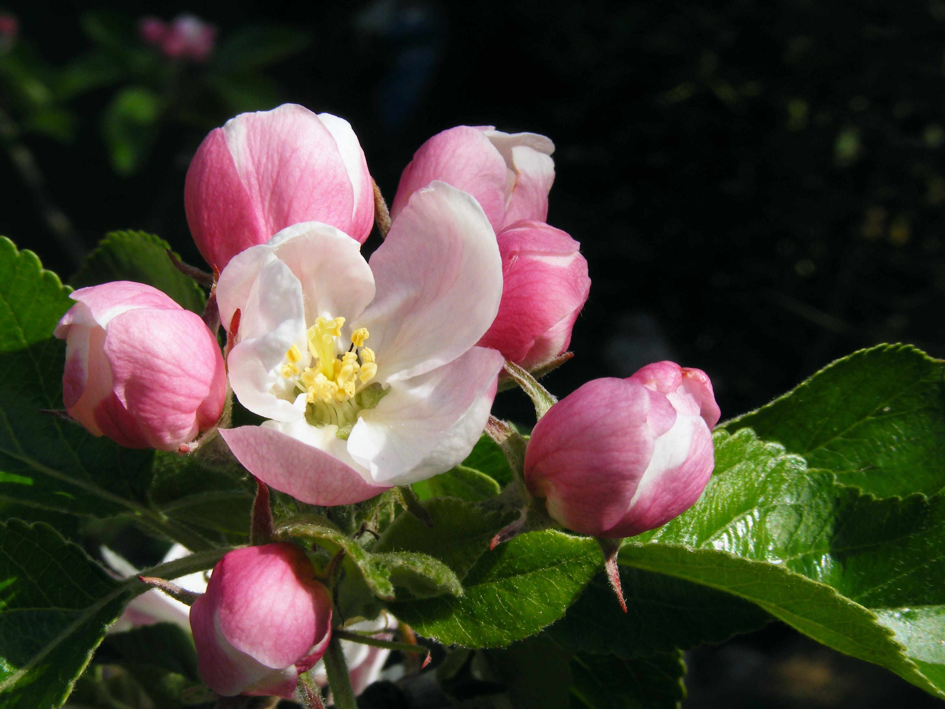 File Apple blossom 02 Wikimedia mons