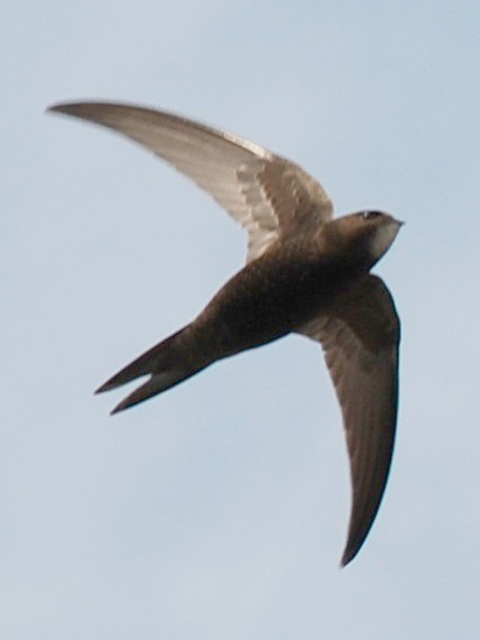 """Bild """"http://upload.wikimedia.org/wikipedia/commons/9/9c/ApusApusKlausRoggel05.jpg"""""""