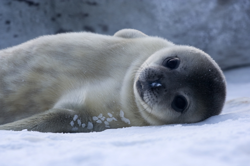 Baby Weddell seal, by Samuel Blanc
