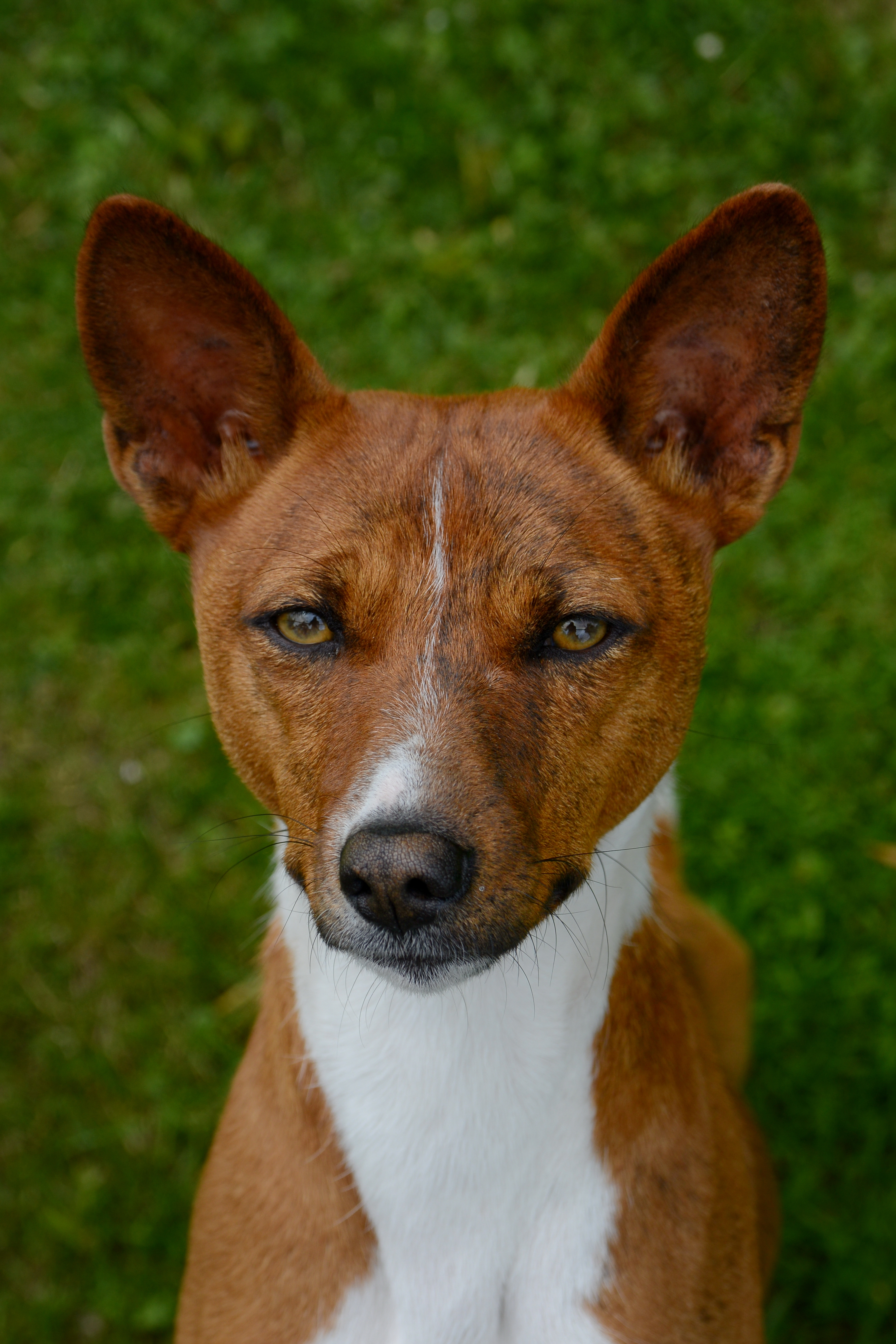 Dogs Ears Are Red And Irritated