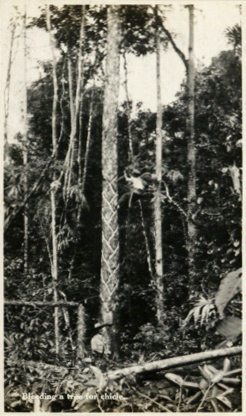 A chiclero bleeding a tree for chicle, Belize 1917