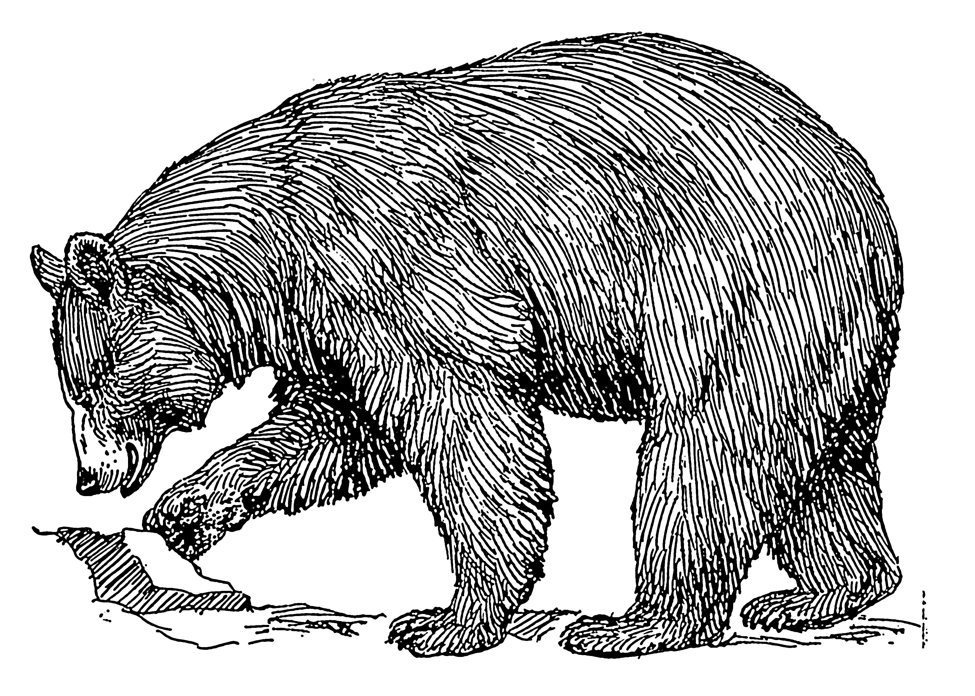 Black bear sketches - photo#4