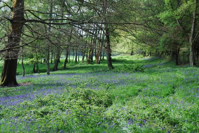Bluebells, St Leonards Forest - geograph.org.uk - 1288554