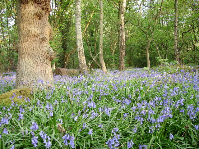 Bluebells at Shining Cliff Woods - geograph.org.uk - 506139