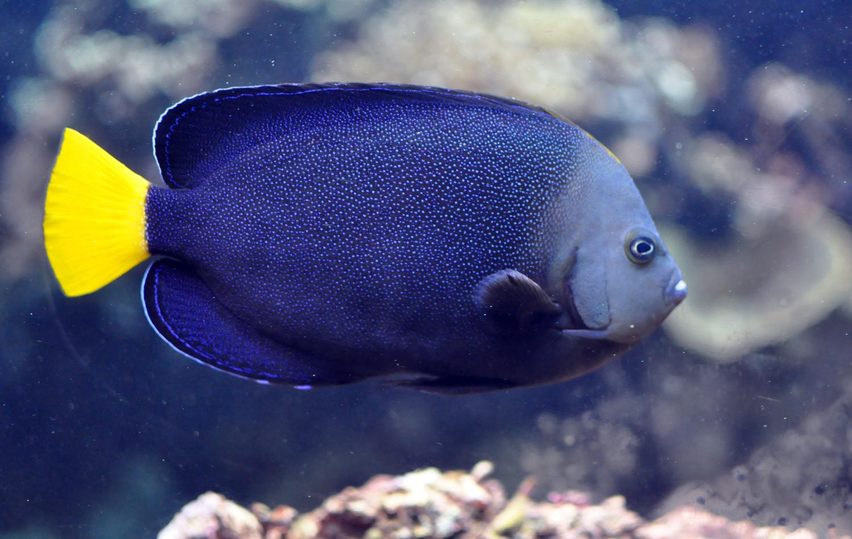 Chaetodontoplus caeruleopunctatus wikipedia for Blue saltwater fish