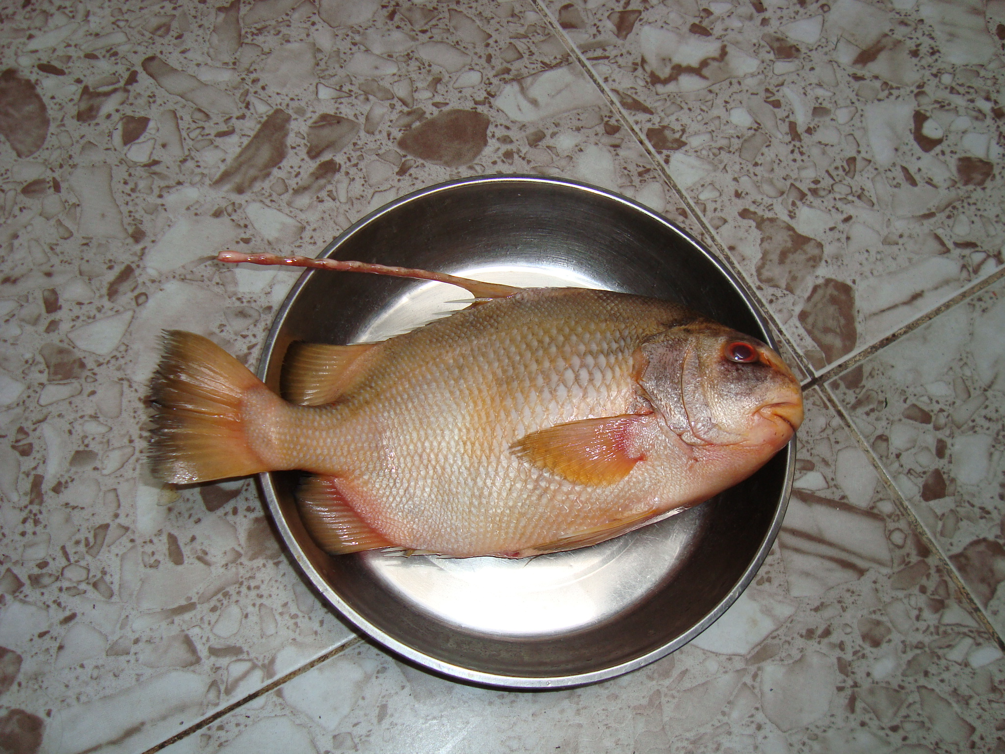https://upload.wikimedia.org/wikipedia/commons/9/9c/Chia-voi_fish.JPG
