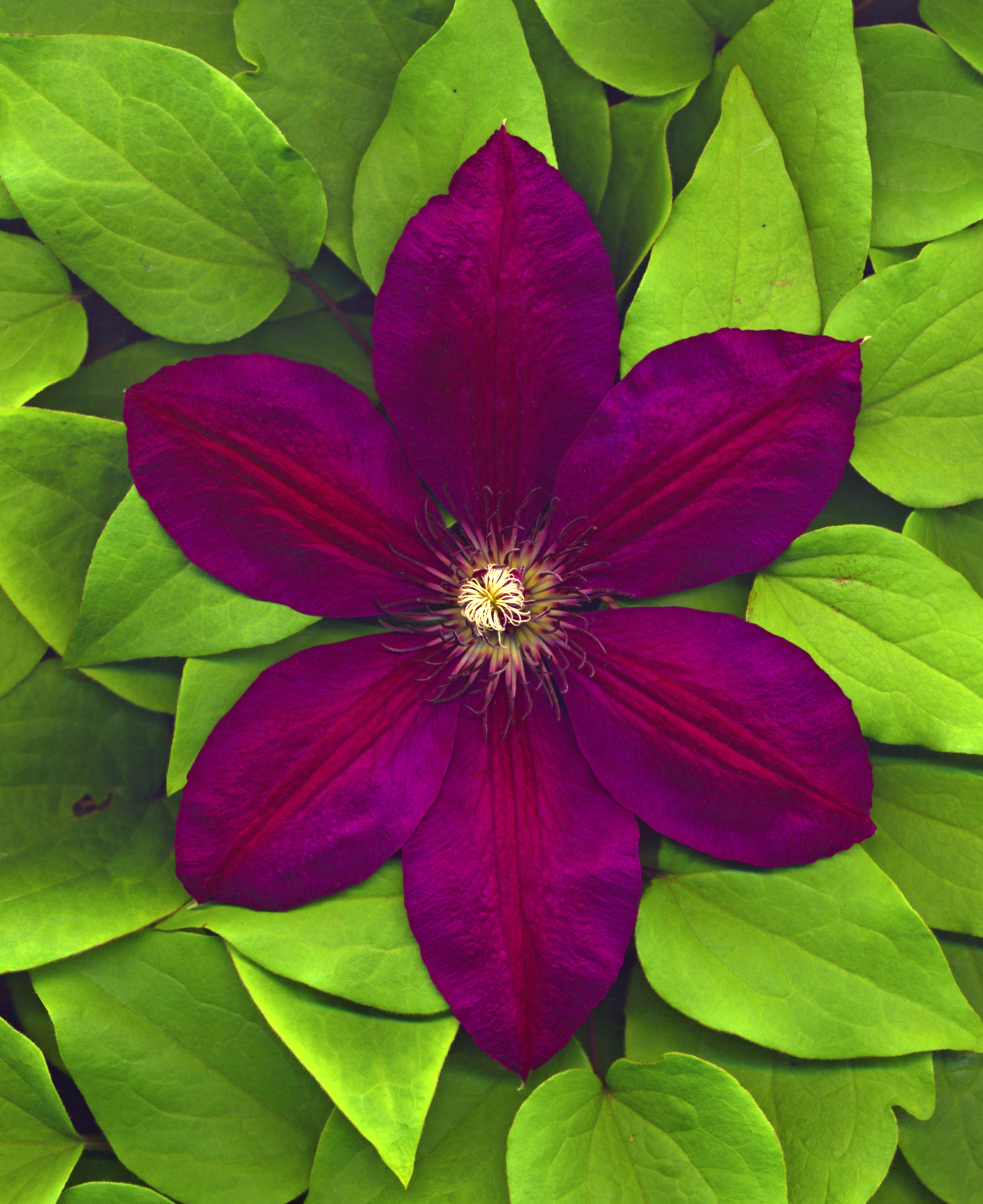 file clematis hybrid rouge wikimedia commons. Black Bedroom Furniture Sets. Home Design Ideas