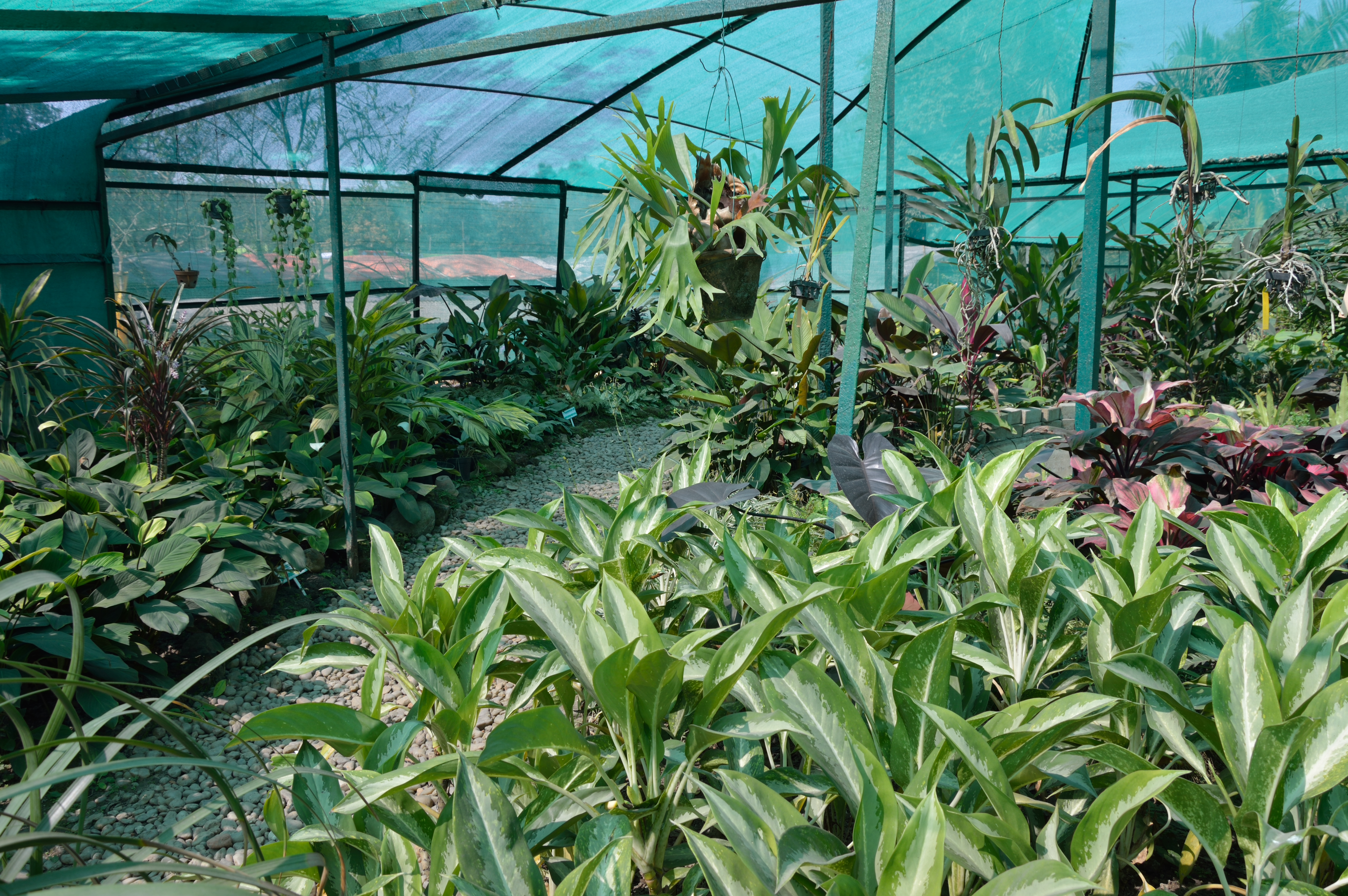 File Darbhanga Tropical Garden Plant House   Agri Horticultural Society of  India   Alipore. File Darbhanga Tropical Garden Plant House   Agri Horticultural