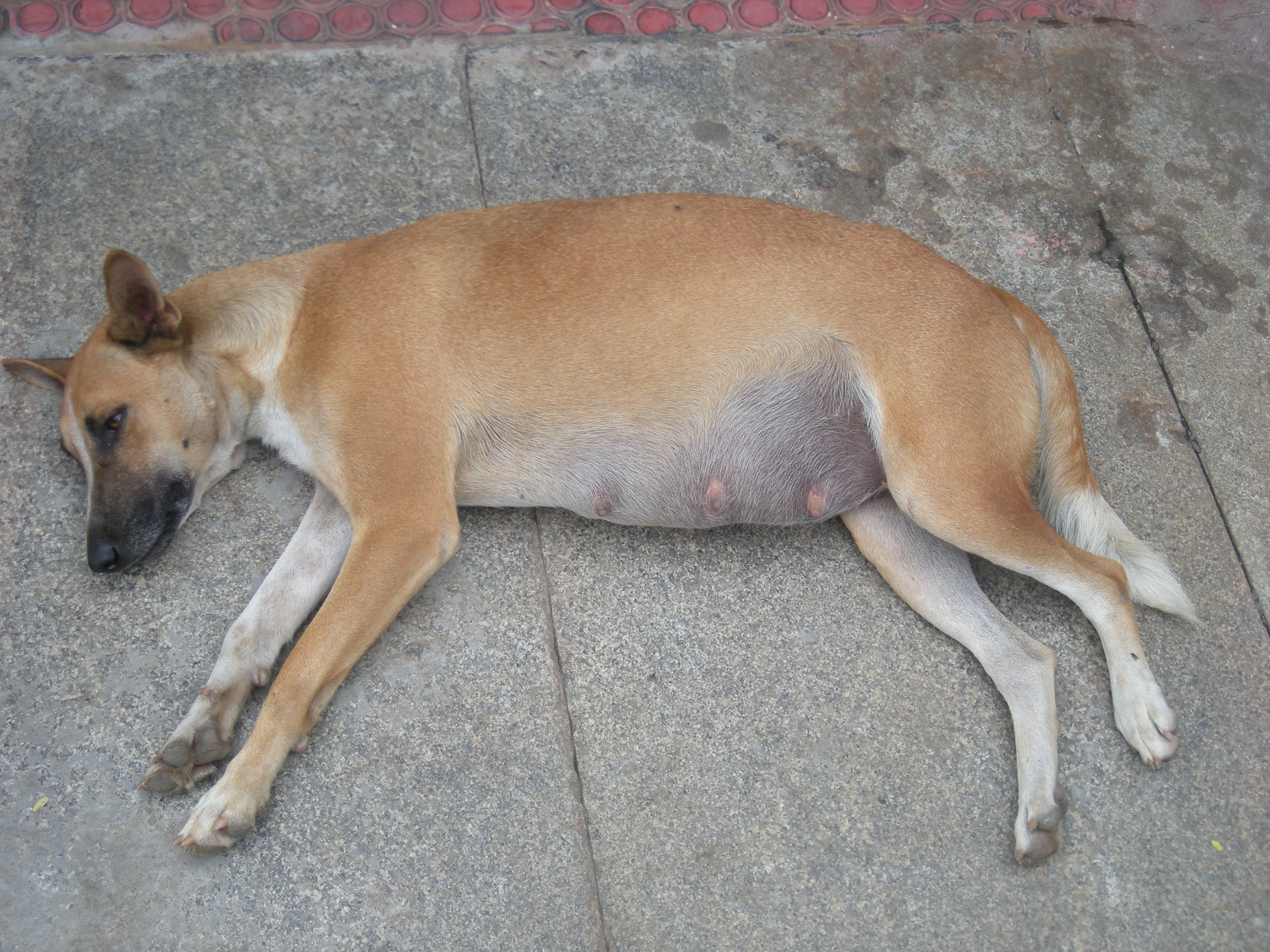 Body Weight Height Chart: Indian pariah dog - Wikipedia,Chart