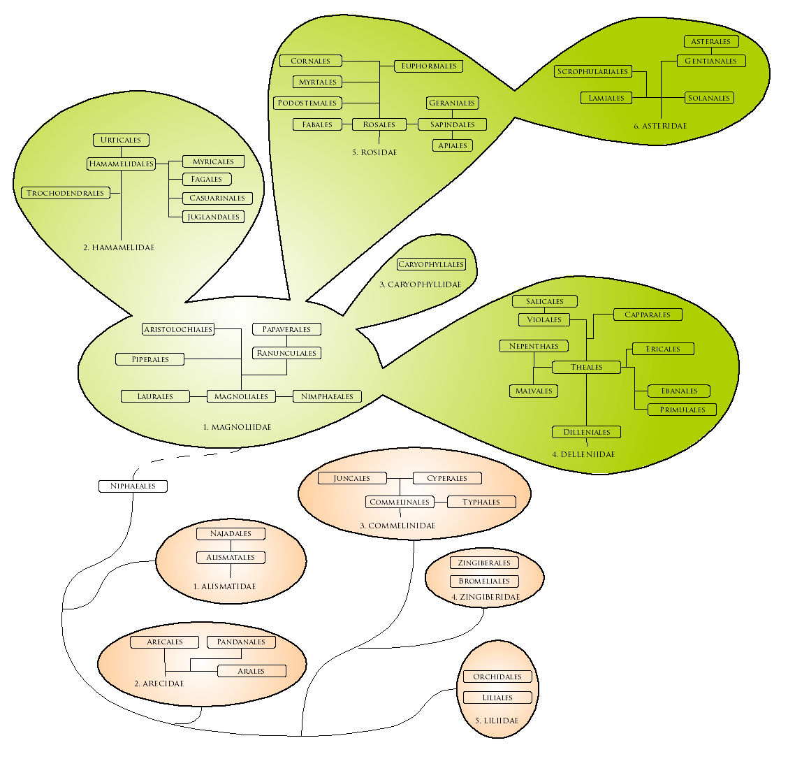 File:Evoluzione Magnoliophyta.png - Wikimedia Commons