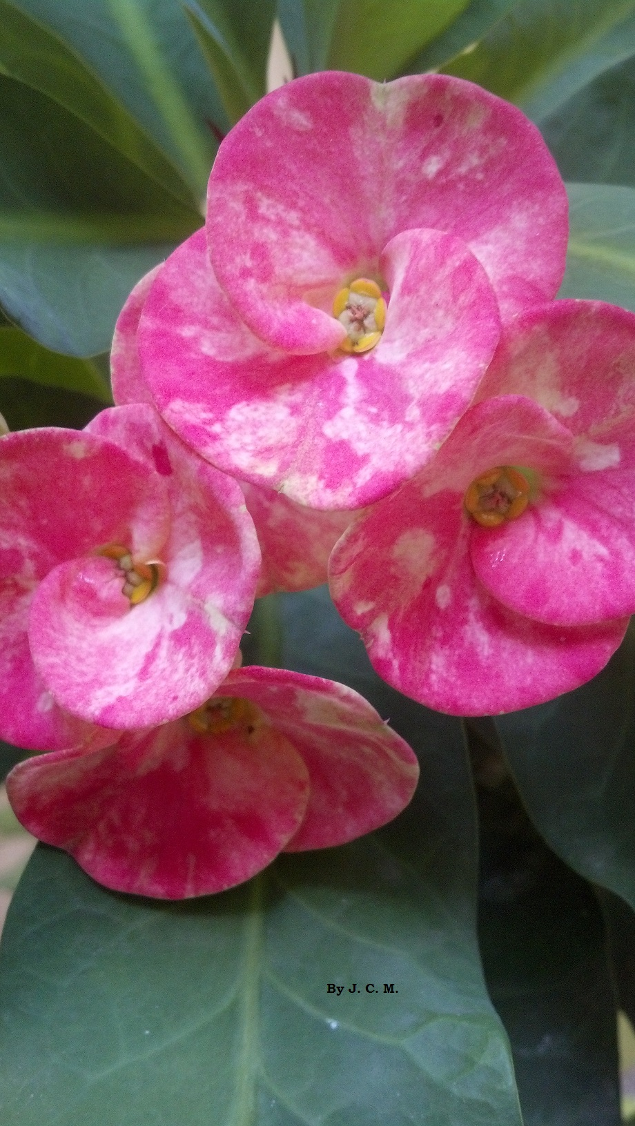file flor hermosa captada por by j c m jpg wikimedia commons
