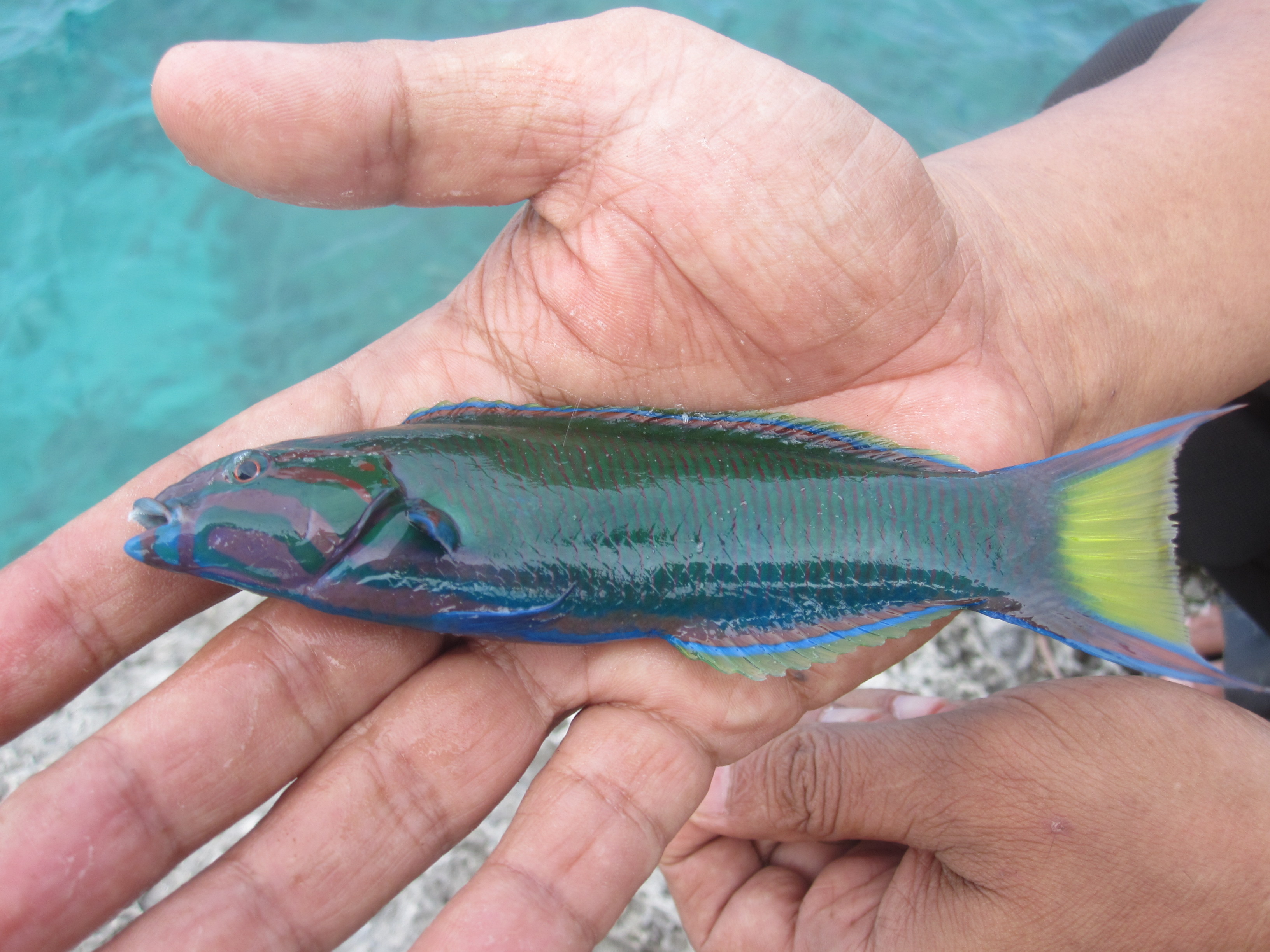 File fresh fish from dato beach jpg wikimedia commons for Why fish is bad for you