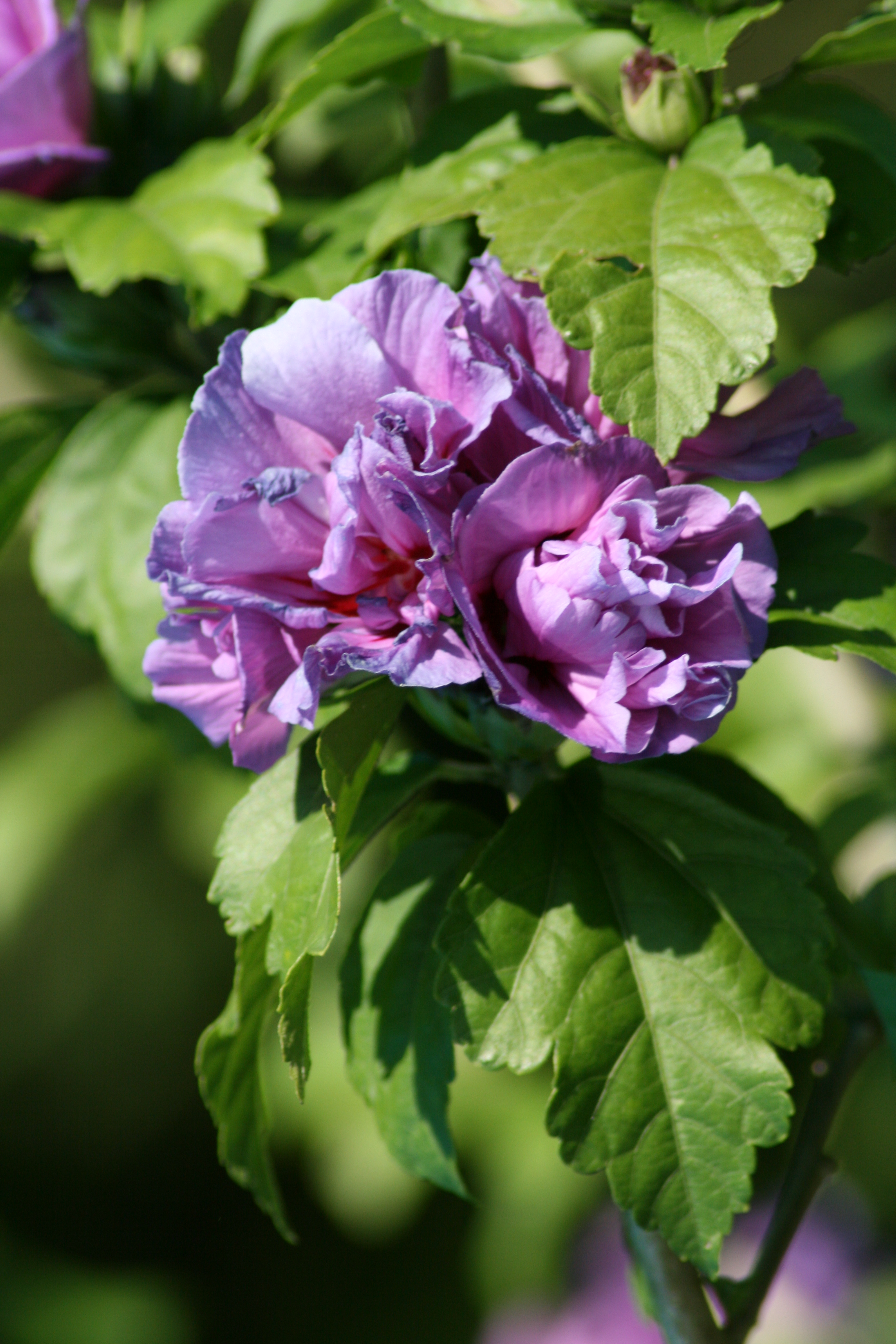 file hibiscus syriacus img wikimedia commons. Black Bedroom Furniture Sets. Home Design Ideas