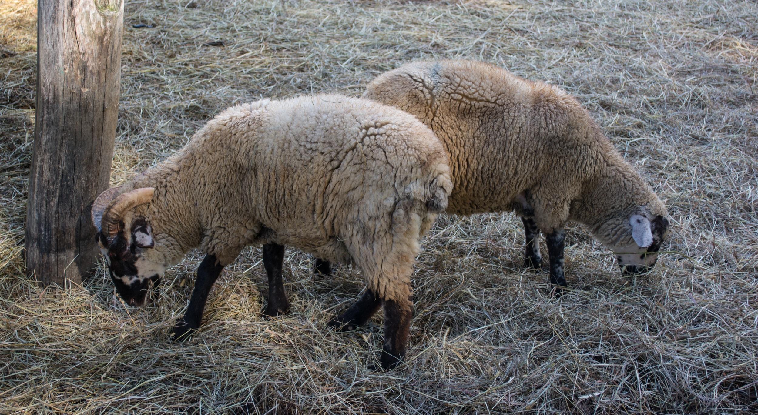 file hog island sheep 02 pioneer farm mount vernon jpg