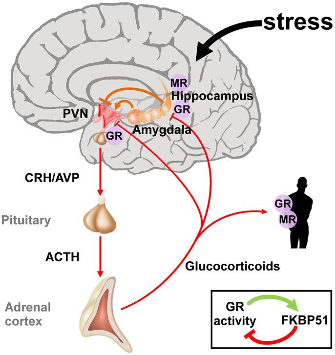 Stress Test Wiki: File:Hypothalamic-pituitary-adrenal Axis.jpg