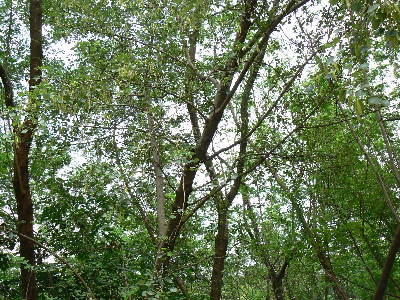File Rosewood Florida Rc12409 Jpg: File:Indian Rosewood Tree (588615133).jpg
