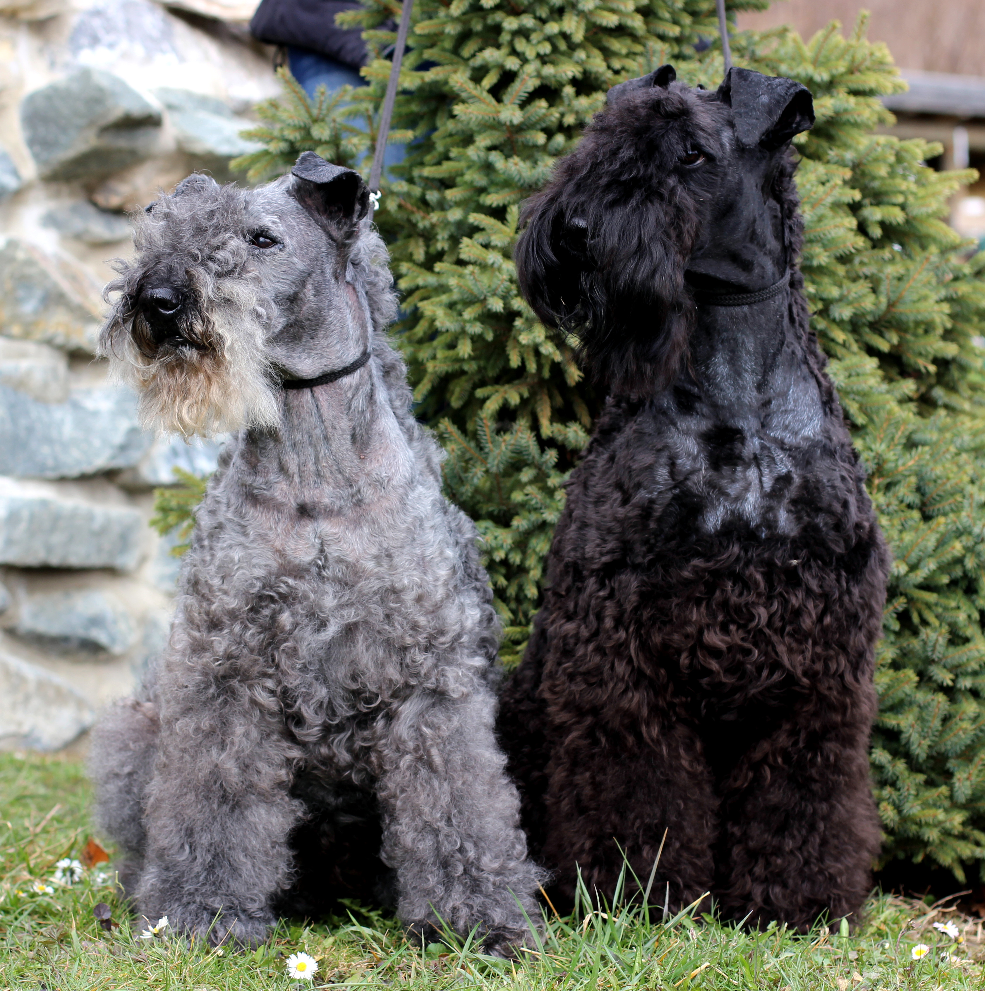 On the left a 14 years old Kerry Blue Terrier. The dog has already changed  the colour of his coat to a light grey. On the right is an one year old ...