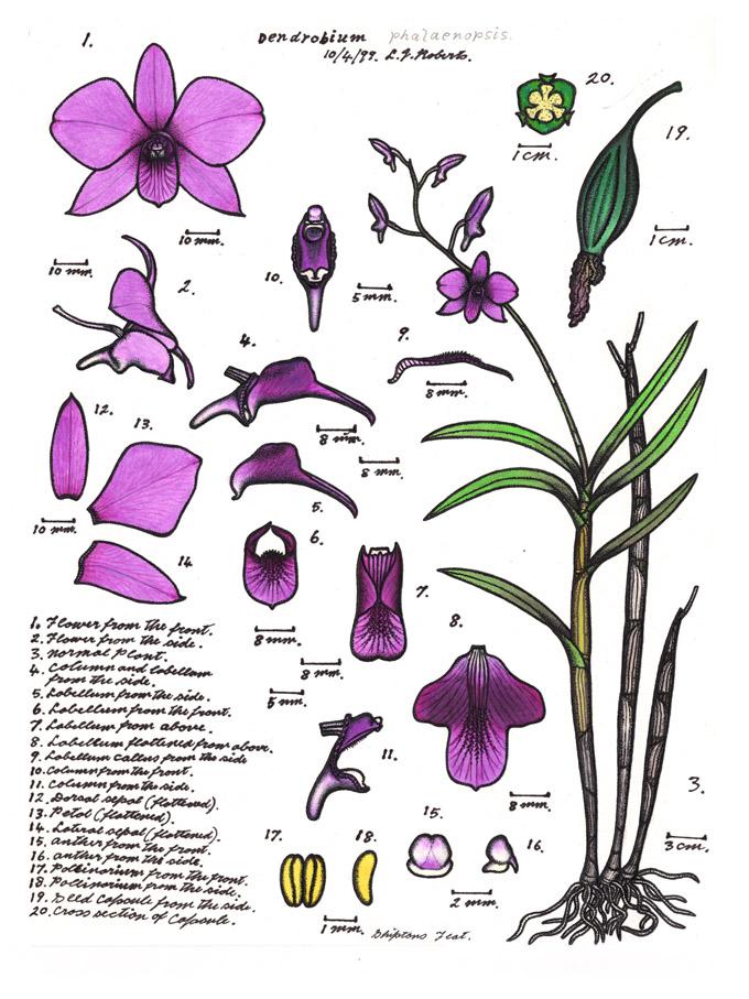LR030 72dpi Dendrobium phalaenopsis (Wiki).jpg