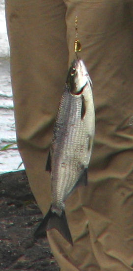 Description de l'image Lake Whitefish, Quetico.jpg.