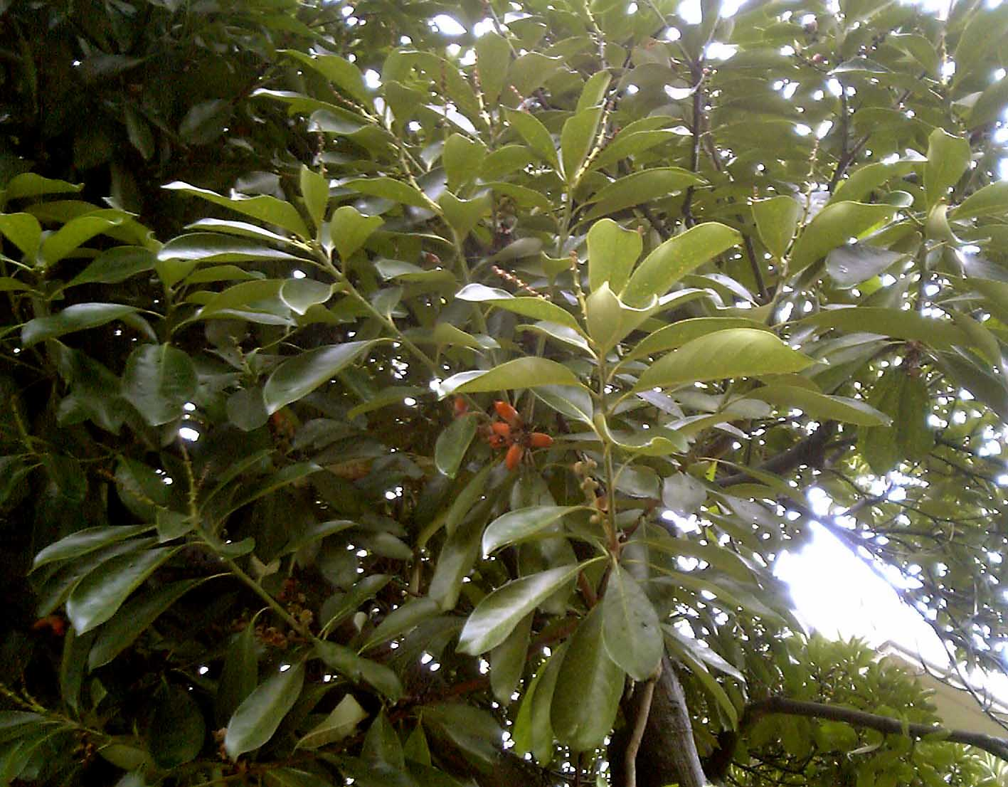 Lithocarpus Wikipedia