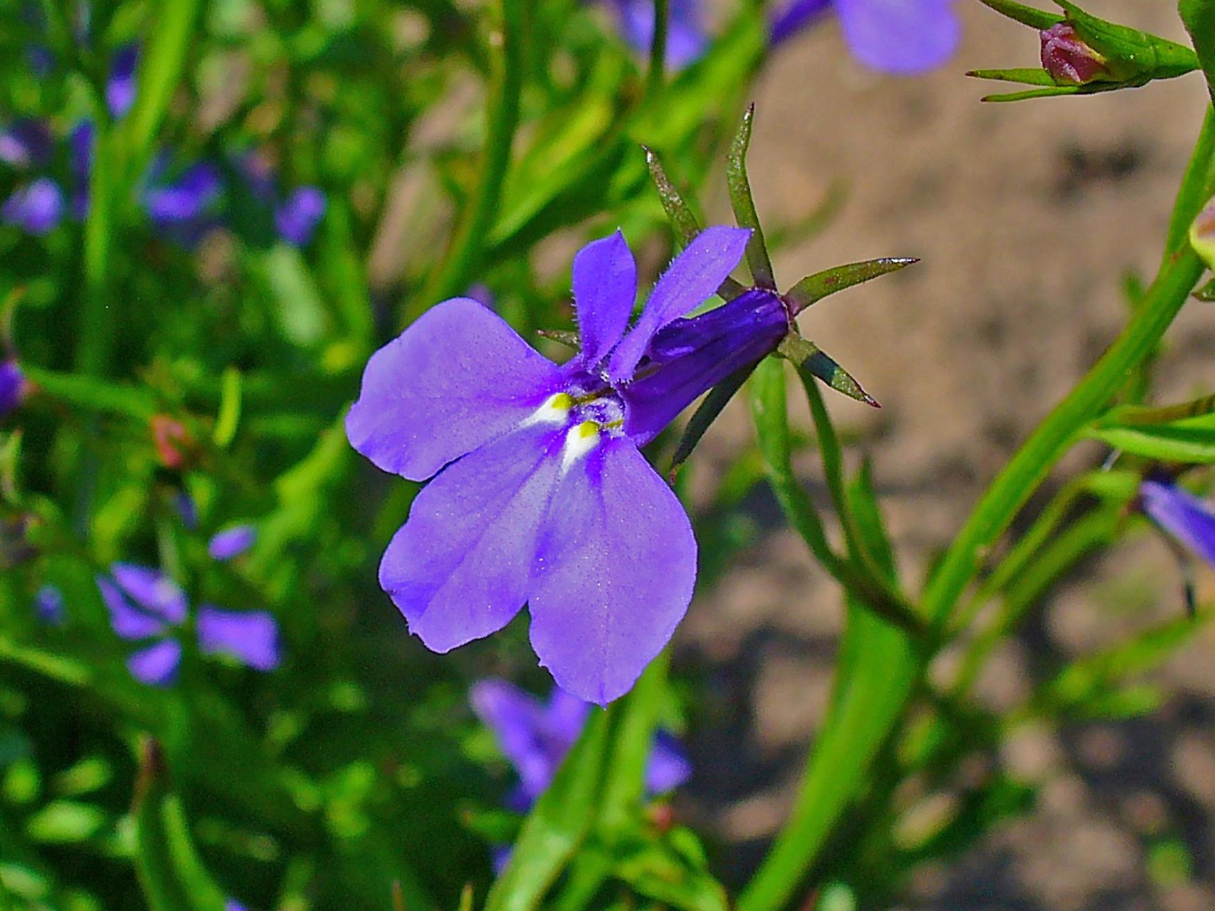Filelobelia Erinus 003jpg Wikimedia Commons