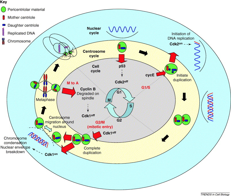 what is the function of centrosome - 1298668 | Meritnation.com