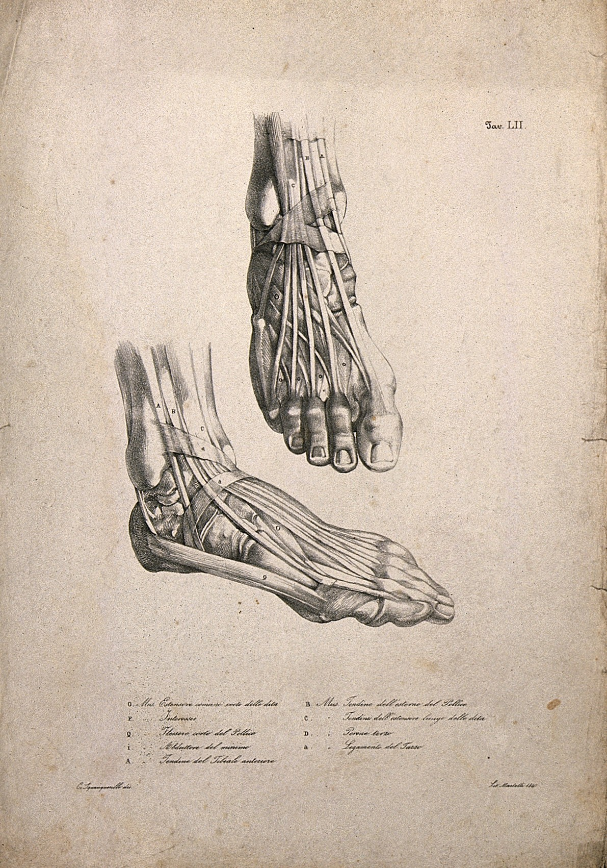 Muscles and tendons of the feet; two figures. Lithograph by Wellcome