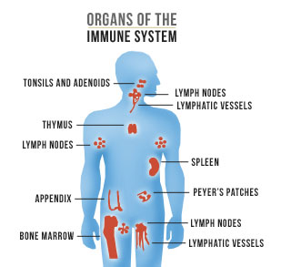 File:Organs of the Immune System by AIDS.gov.jpg - Wikimedia Commons