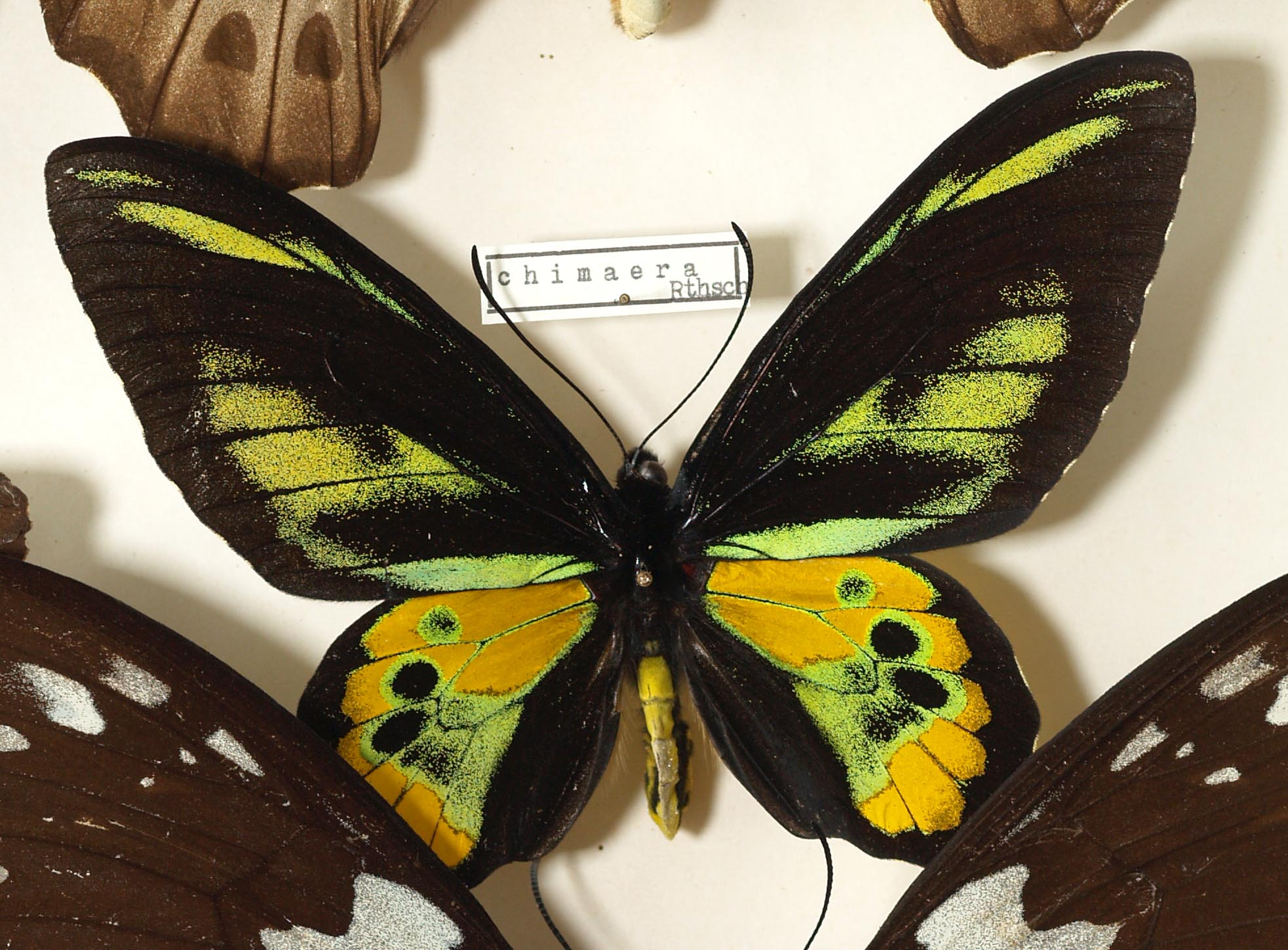 File Ornithoptera Chimaera Male Jpg Wikimedia Commons