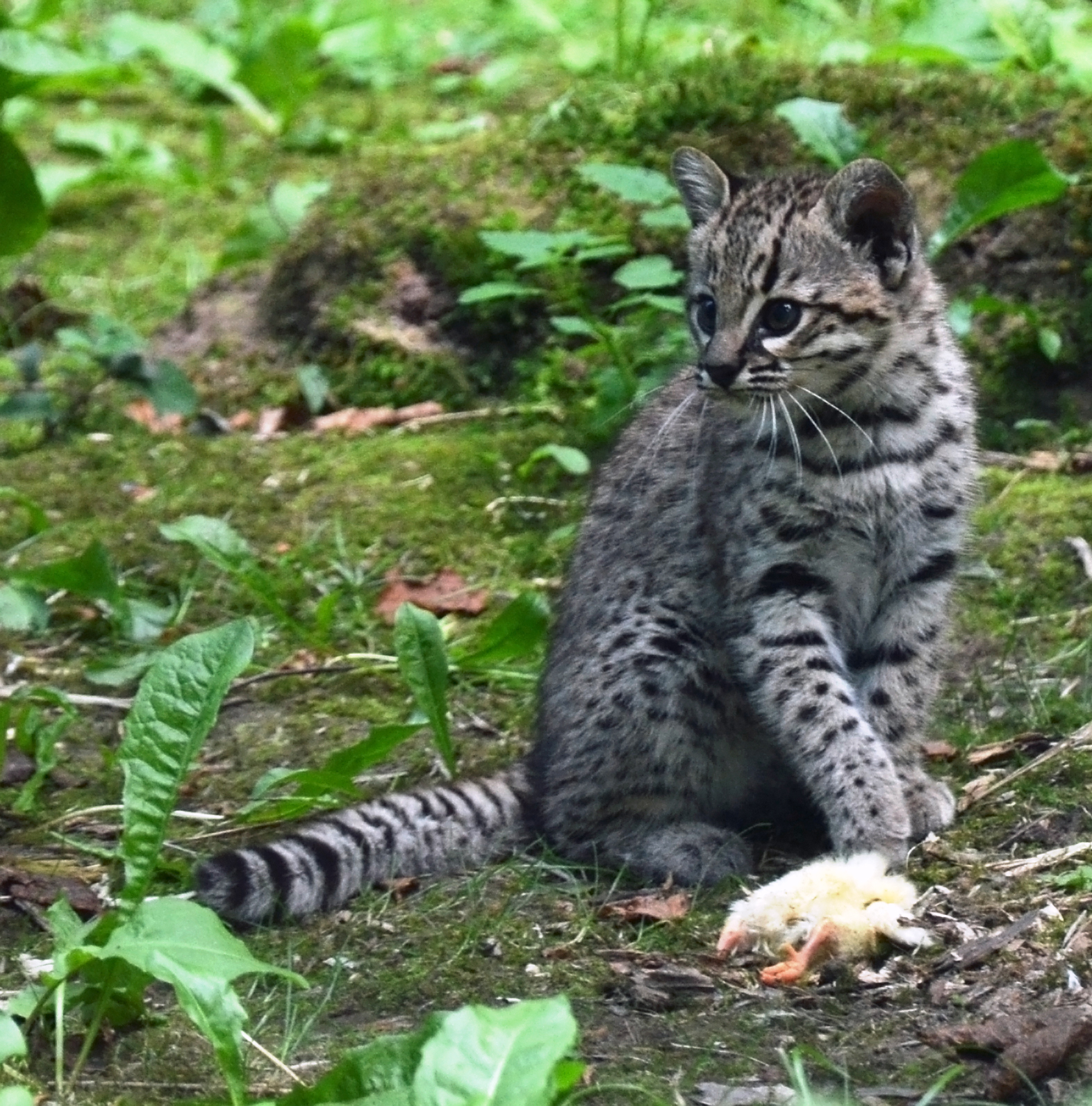 Geoffroy S Cat Endangered