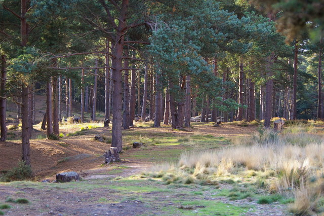 Pine woodland on the edge of Rempstone Forest - geograph.org.uk - 261977