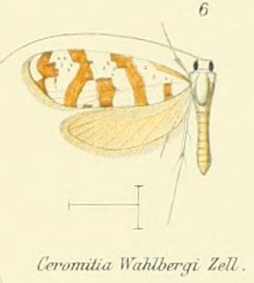 Tập tin:Pl.2-06-Ceromitia wahlbergi Zeller, 1852.JPG
