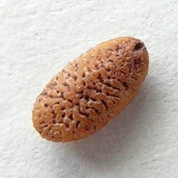 Sambucus nigra20100414 39