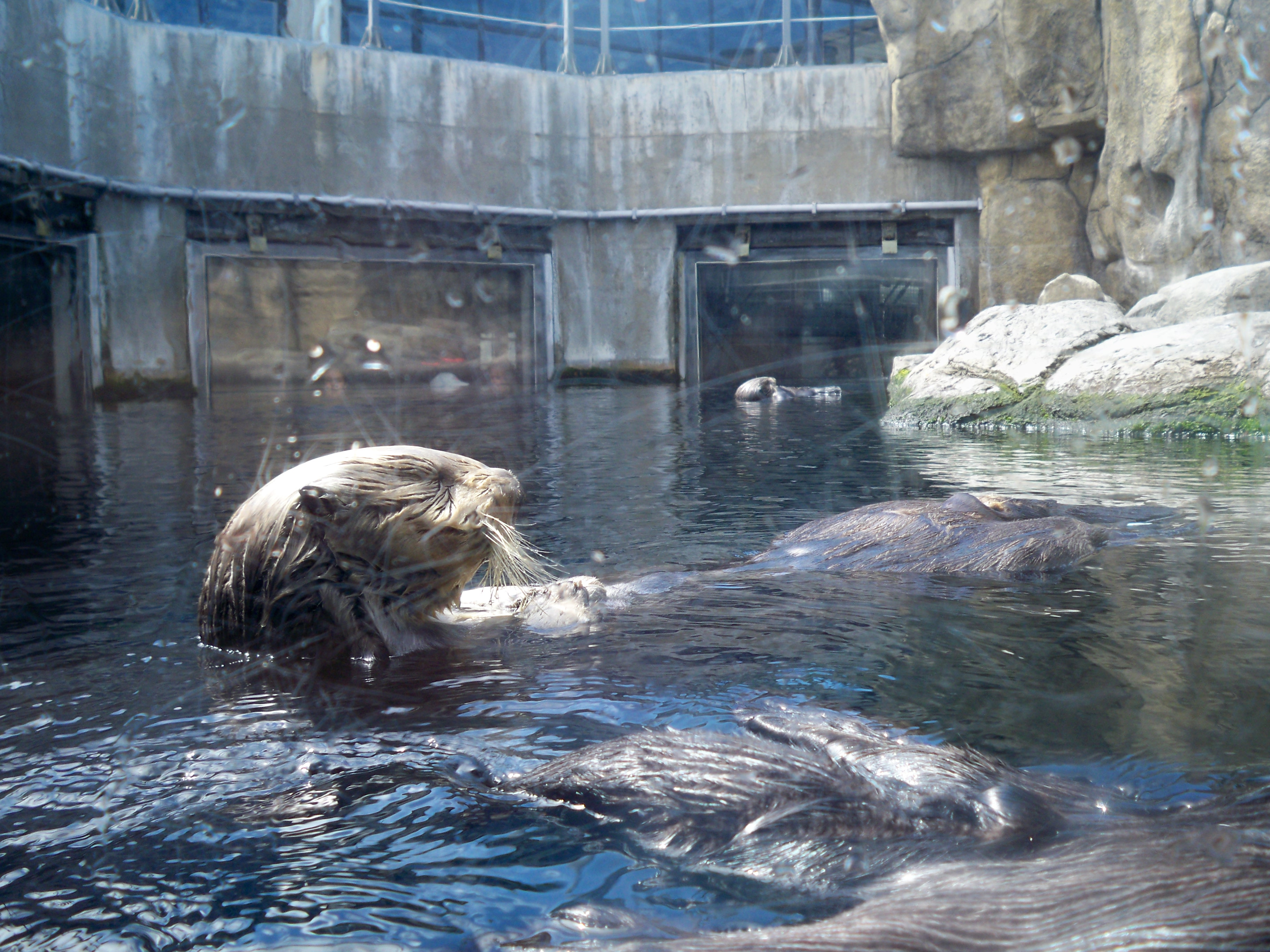 Image result for monterey bay aquarium otters in aquaRIUM