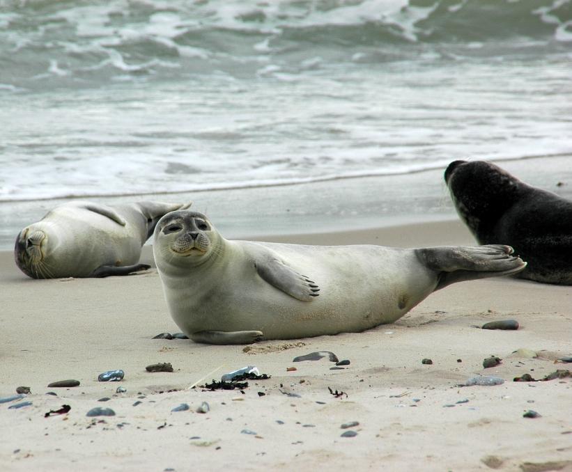 Seehund-Kolonie auf der Nordseeinsel Helgoländer Düne