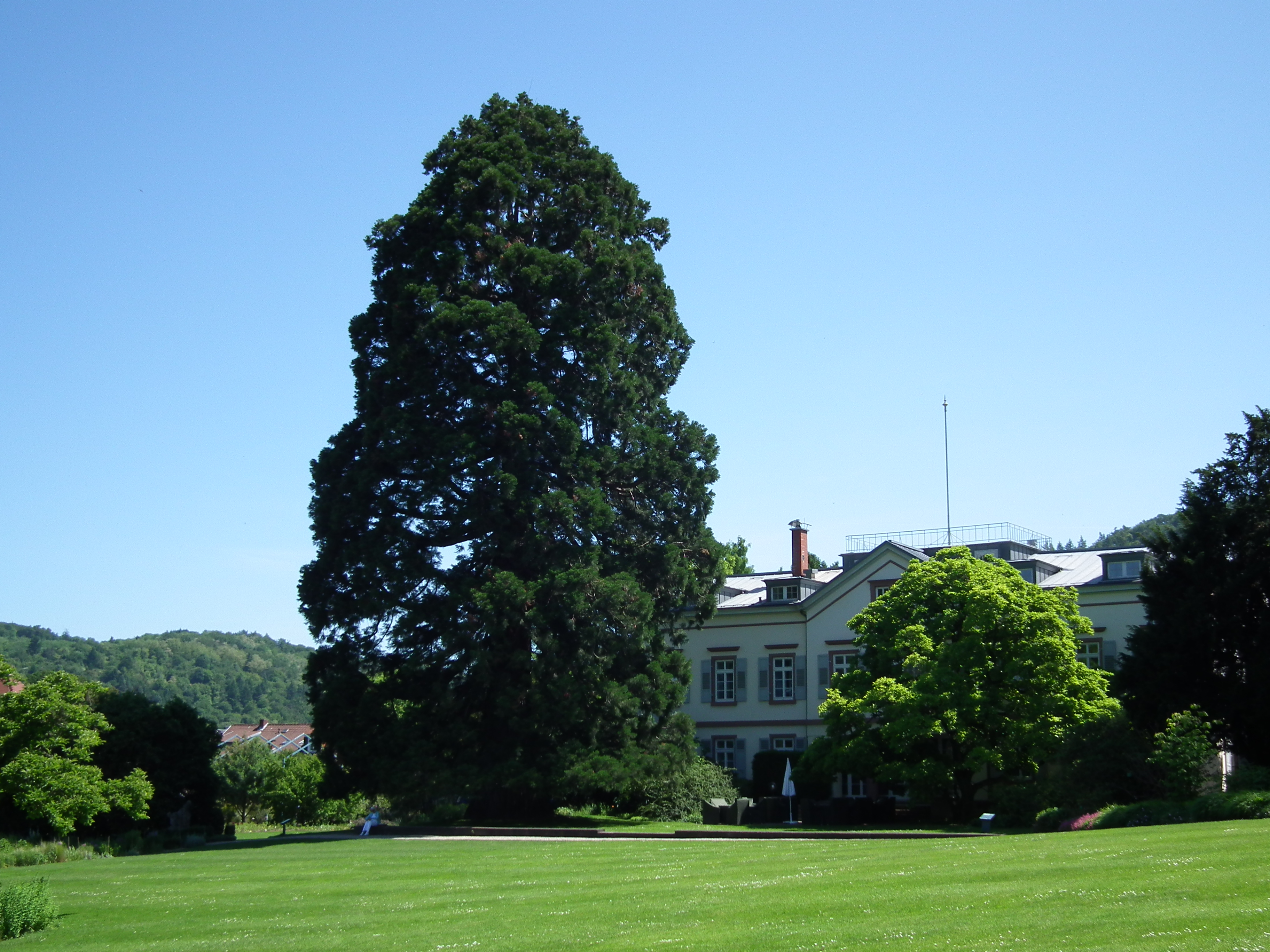file sequoiadendron giganteum weinheim jpg wikimedia commons. Black Bedroom Furniture Sets. Home Design Ideas