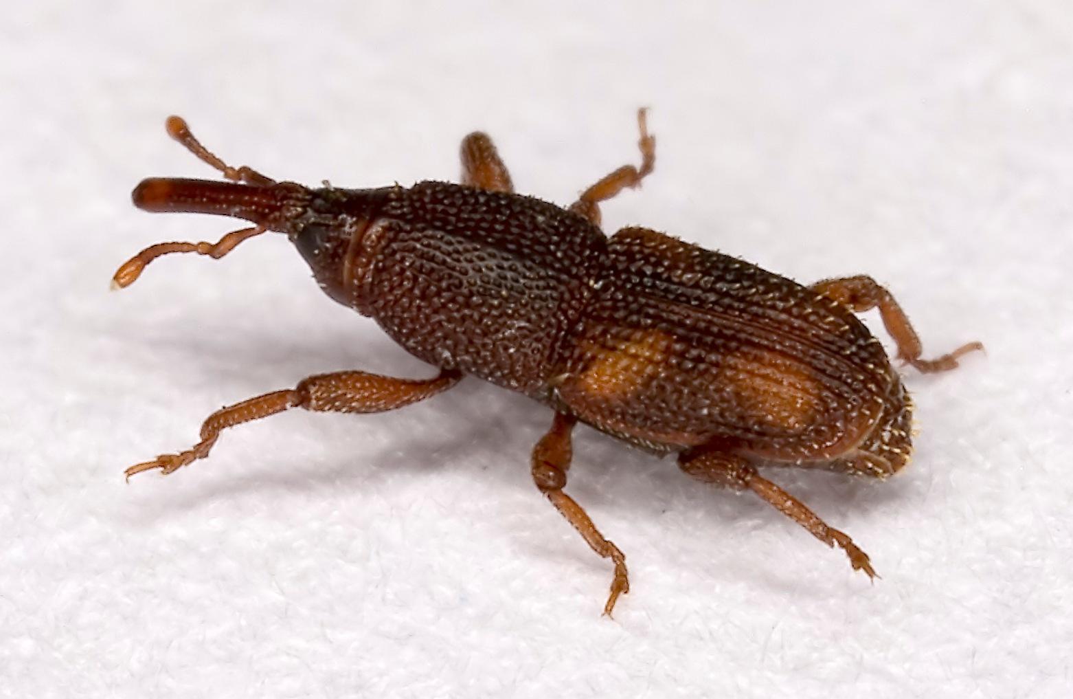Sitophilus.oryzae.7438.jpg