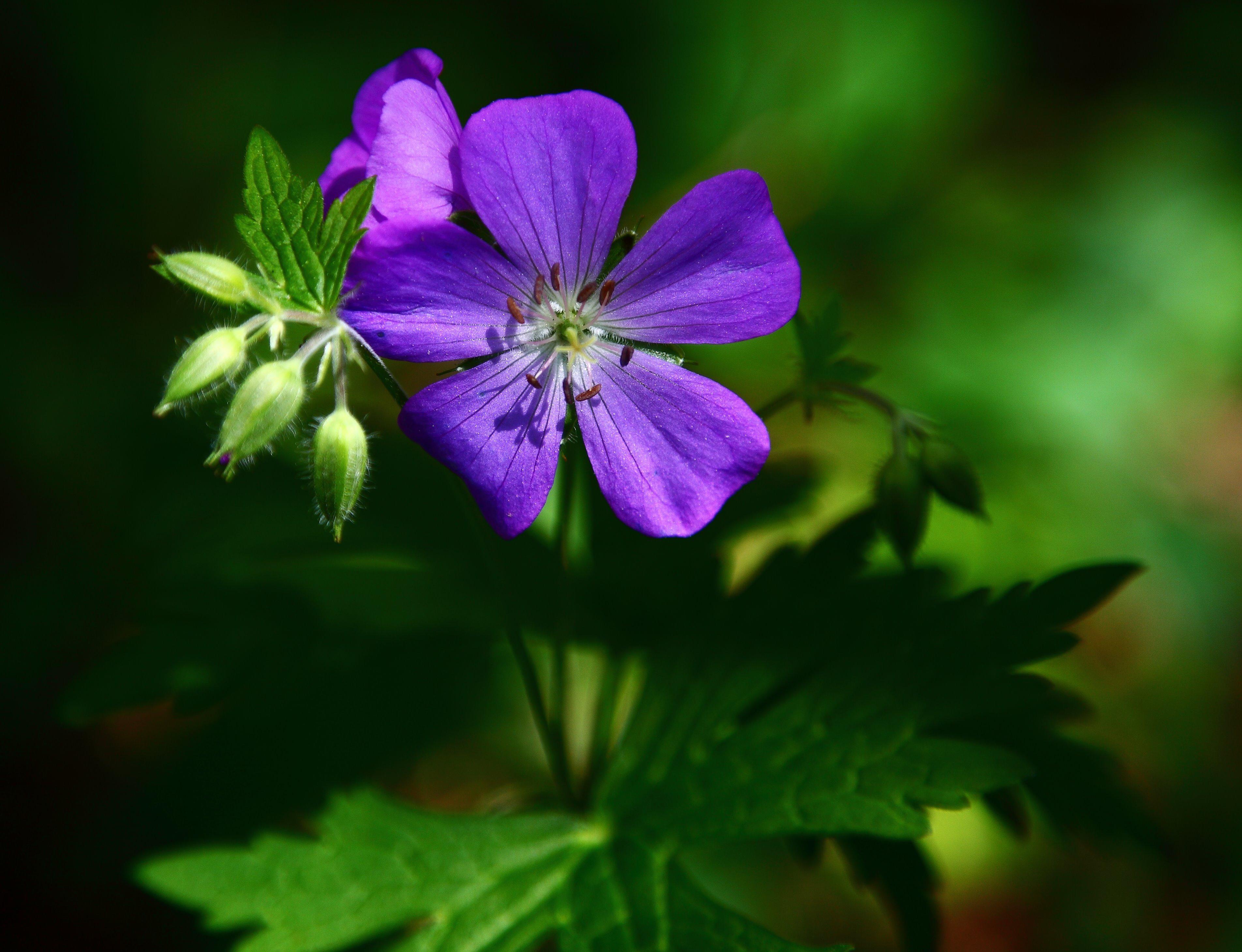 Filesmall blue forest flower virginia forestwanderg filesmall blue forest flower virginia forestwanderg izmirmasajfo