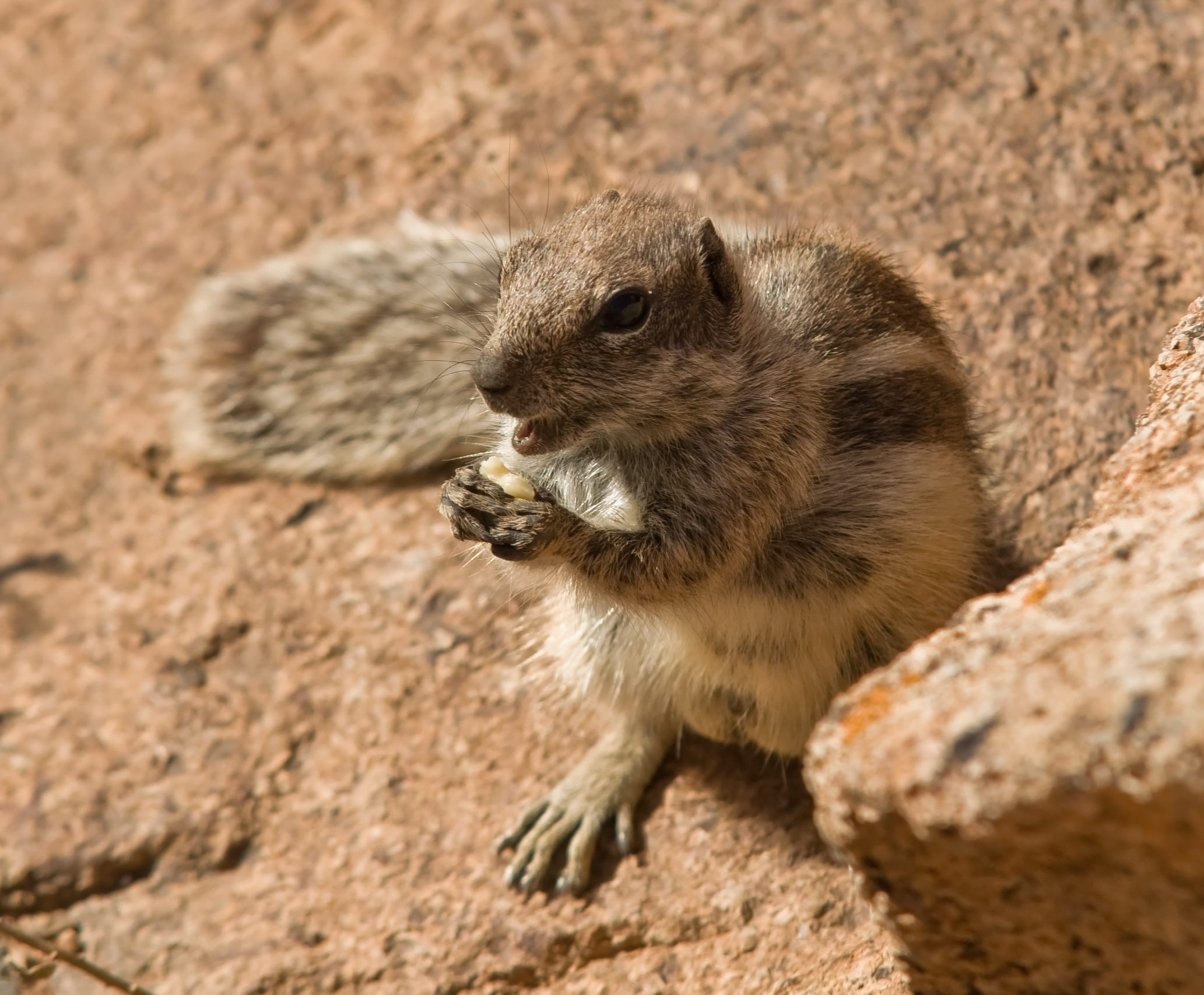 African ground squirrel (unidentified)