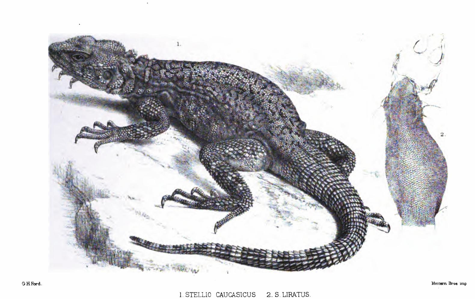 class in caucasia Kingdom, phylum, class, order, family  agama caucasia (eichwald, 1831)  ( 2012) reassigned laudakia caucasia to their new genus paralaudakia.