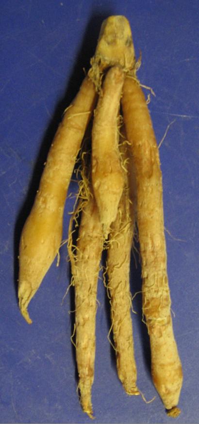 Boesenbergia rotunda - Wikipedia