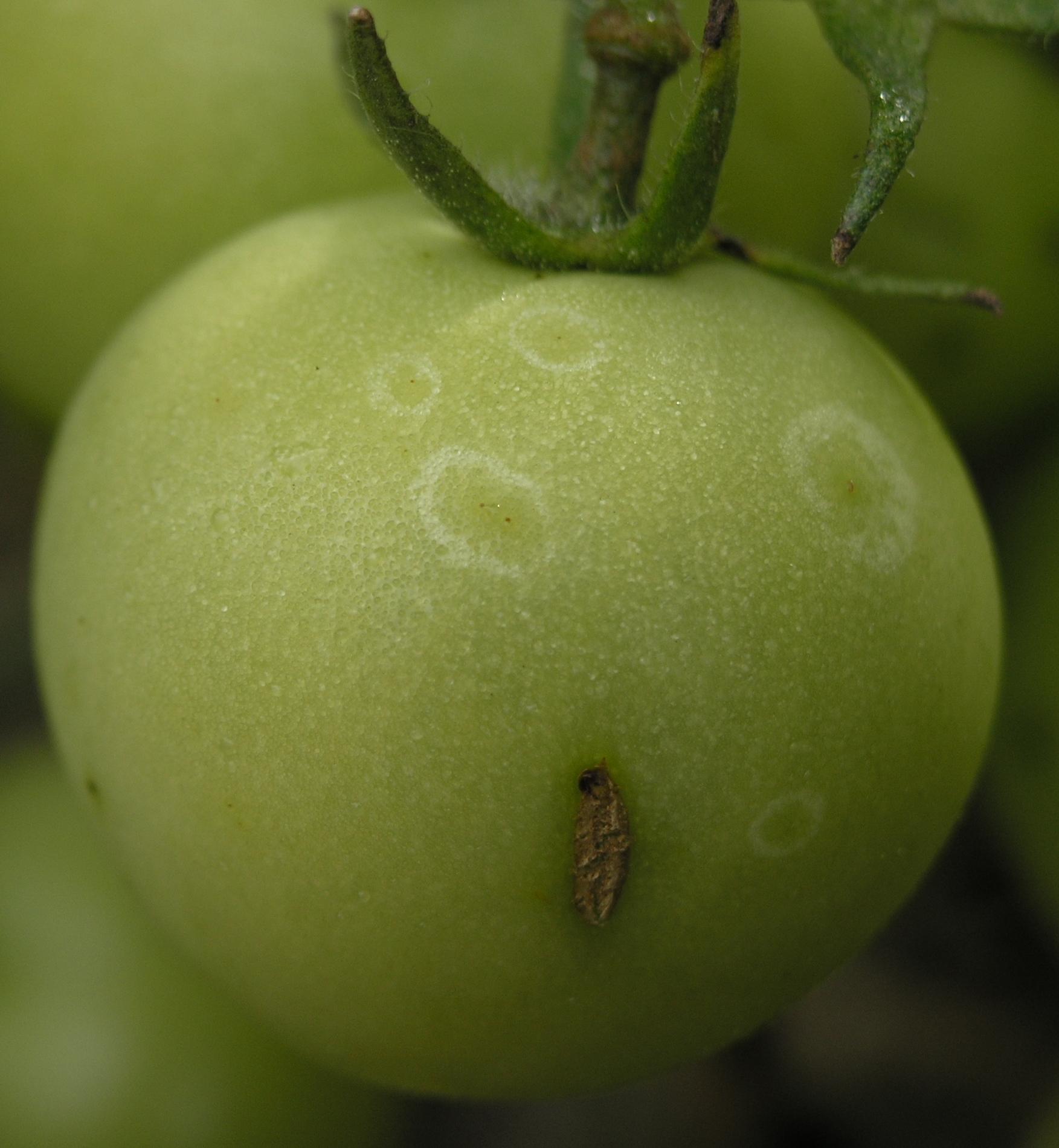 TomateFruchtGrauschimmelBotrytiscinereaGeisterflecken.jpg