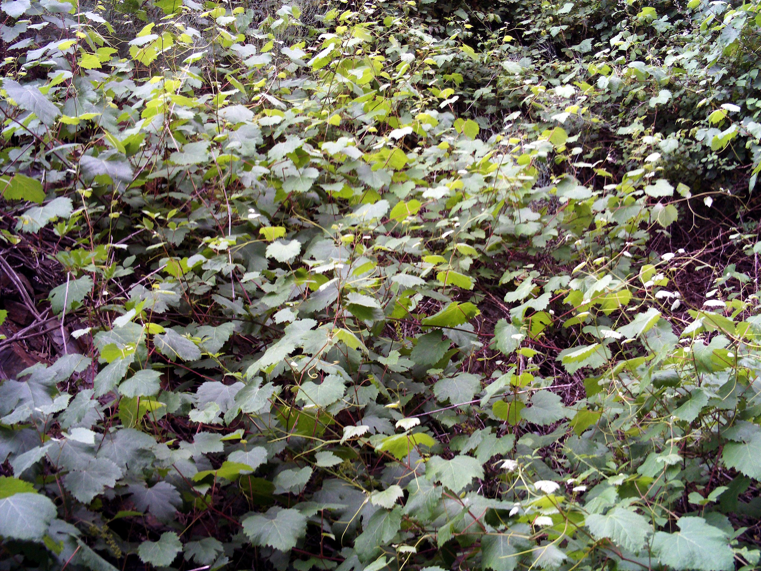 Risultati immagini per Vitis vinifera sylvestris