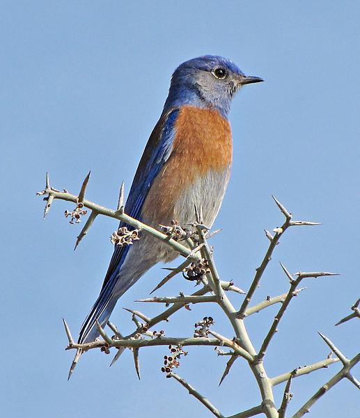 File:Western Bluebird02.jpg