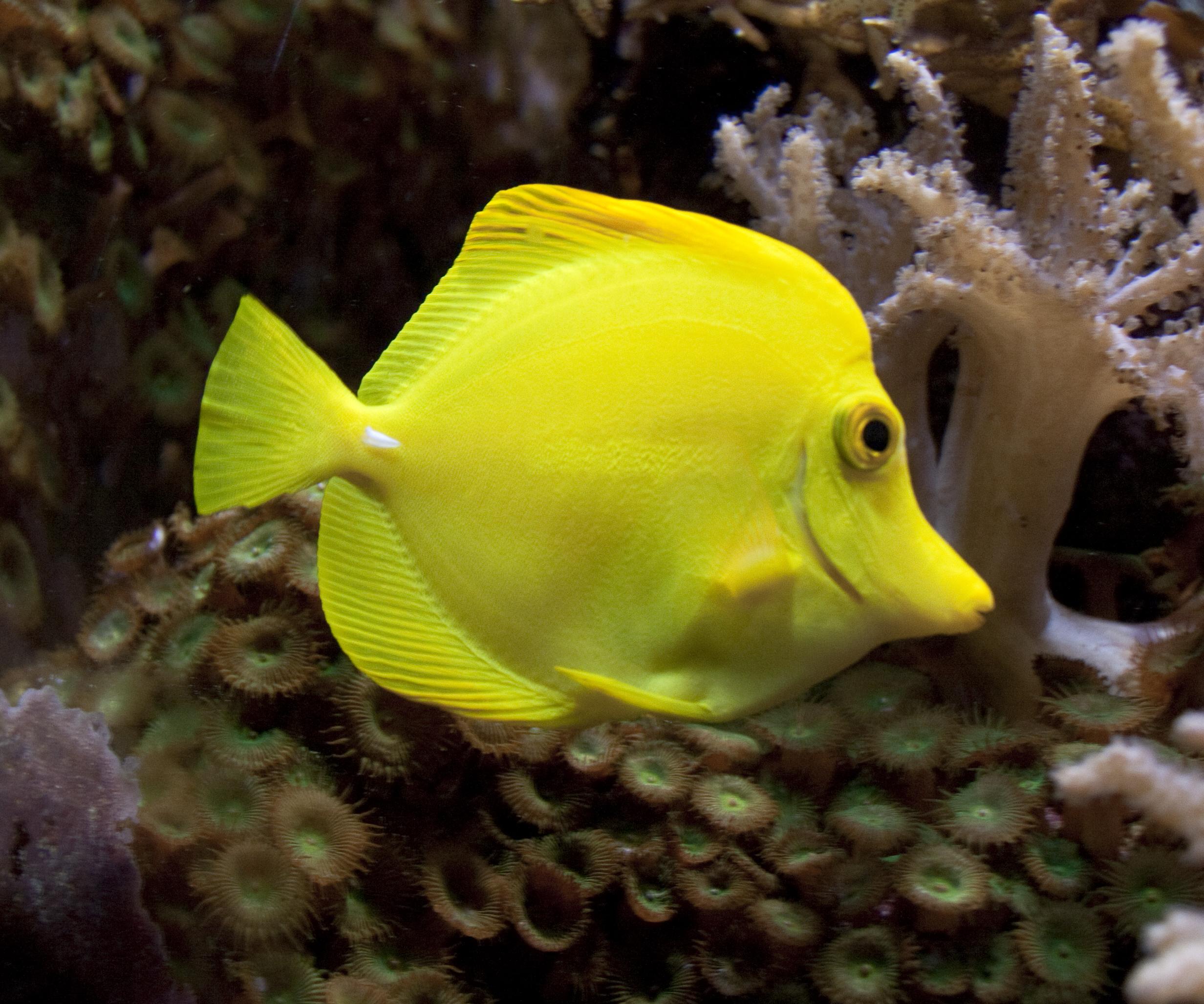 File yellow fish 5729996209 jpg wikimedia commons for Yellow tail fish